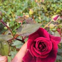 食用玫瑰墨红杯苗